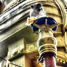 macaque monkey eating by Matt Dittsworth - Buildings & Architecture Places of Worship ( religion, post, macaque monkey, batu caves, watch, worshipped, festival, worship, sacred, kuala lumpur, monkey )