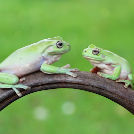 face to face by Kurito Afsheen - Animals Amphibians