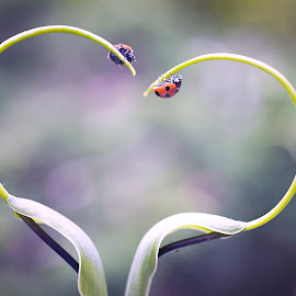Love by David Tamayo - Novices Only Macro ( love, animals, macro, red, vintage, macro photography, ladybug )