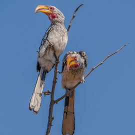Hornbill pair by Pax Bell - Animals Birds
