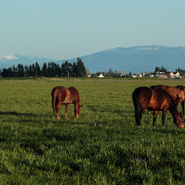 Out to Pasture by Dale-Marie Van Ess-Boersema - Animals Horses ( pasture, mountains, horses )