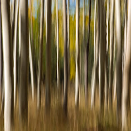 Autumn Aspens by Sue Cullumber - Abstract Patterns ( abstract, tree, nature, autumn, fall, trees, forest, lines, aspens, aspen, color, colorful )