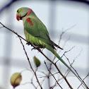 Alexandrian Parakeet