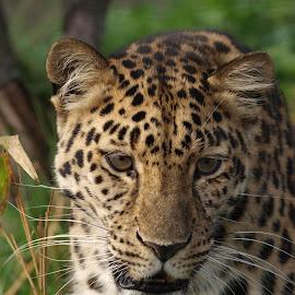Mitzi 2 by Garry Chisholm - Animals Lions, Tigers & Big Cats ( garry chisholm, predator, carnivore, nature, wildlife, leopard )