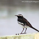 White-browed Wagtail or Large Pied Wagtail