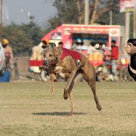GREYHOUNDS by Ajit Kamboj - Animals - Dogs Running ( racing, ground, action, fast, dog, running, animal )
