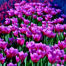Purple ladies by Alegna Nehc - Flowers Flower Gardens ( tulip, tulips, flowers, garden, flower, the mood factory, mood, lighting, sassy, pink, colored, colorful, scenic, artificial, lights, scents, senses, hot pink, confident, fun, mood factory  )