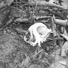 Feral cat skull