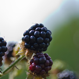 Succulent Blackberries by Andrew Robinson - Nature Up Close Gardens & Produce ( fruit, brambles, blackberries )