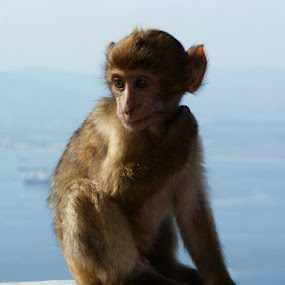 Gibraltar macaque Slyvanus  by Gabrielle Phillips - Animals Other Mammals ( animal, monkey )