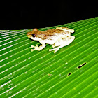 Narrow-Headed Treefrog