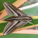 Impatiens Hawk Moth