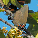 Great Purple Hairstreak (female)