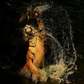 GOTCHA !!! by Joshua Sujasin - Animals Lions, Tigers & Big Cats ( panthera tigris, reserve animal, vertebrae, prey, ragunan zoo )
