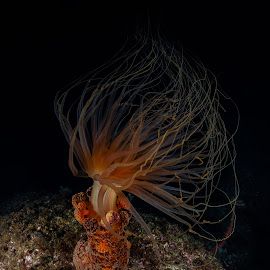 Medusa preying  by Alexandre Ribeiro Dos Santos - Animals Sea Creatures ( pico island, atlantic ocean, açores, alicia mirabilis, underwater photography, berried anemone, portugal, azores )