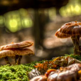 mushrooms in the autumn sun by Horst Winkler - Nature Up Close Mushrooms & Fungi ( plant, mushroom, hdr, fall colors, moos, pilze, plants, moss, pilz, natur, high dynamic range, pflanzen, sun, herbst, fungi, forrest, nature, autumn, wald, fall, autumn colors, mushrooms )