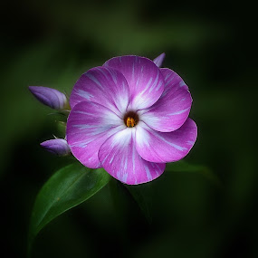 Evening Bloom by Liz Crono - Flowers Single Flower ( single, purple, flowers, phlox,  )