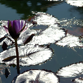 Water Lilies by Lorraine D.  Heaney - Landscapes Waterscapes