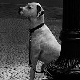 Guardian by Jil Norberto - Animals - Dogs Portraits ( leash, spots, pole, dalmatian, white,  )