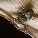 Metallic green Jumping spider female