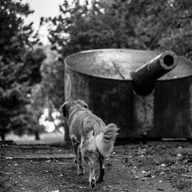 War Dog by Matt Goodwin - Animals - Dogs Running ( dogs, black and white, dog, war, golden retriever, cannon )