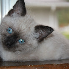 Stormy loving the window by Tammy Jones Perdue - Animals - Cats Kittens ( kitten, persian, white, blue eyes, cute )