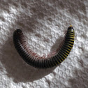 Yellow Banded Millipede