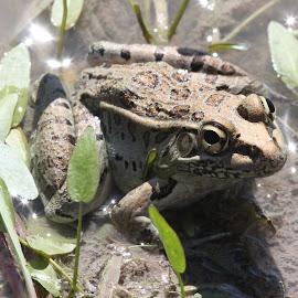 Frog at Santa Ana wildlife refuge by Chuck Cornell - Animals Amphibians (  )