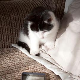 Mirror, mirror on the phone... by Agnieszka Malik - Animals - Cats Kittens ( reflection, kitten, curiosity, cute, surprise )