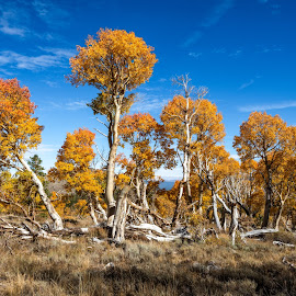The Aspens of Parker Bench 2 by Mark Cote - Landscapes Mountains & Hills ( fall colors, parker lake, silver lake, parker bench, aspens, sierra nevada mountains,  )