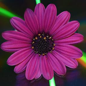 Daisy On A Compact Disc by Ed Hanson - Flowers Single Flower ( macro, purple, daisy, rainbow, flower )