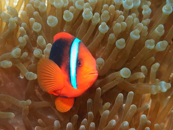 Tomato clownfish anemone - photo#21