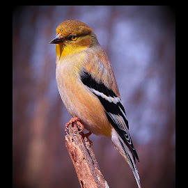 American Gold Finch by Paul Mays - Animals Birds ( bird, gold finch, nature, birds, kentucky )