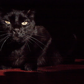 Yuno Pet Panther by Shelby Harrison - Animals - Cats Portraits ( black cat shadows close up lighting halloween )