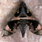Hawk Moth (Eng), Ngengat (Ina)