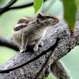 squirrel on the tree by Niraj Jha - Animals Other Mammals