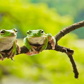 You and Me by Choky Ochtavian Watulingas - Animals Amphibians ( frog, green, amphibian, frogs, bokeh )