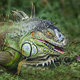 Iguana  by Prasanna Bhat - Animals Reptiles