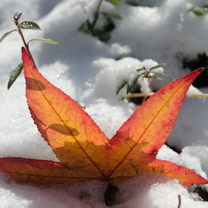 Red leaf in snow.jpg