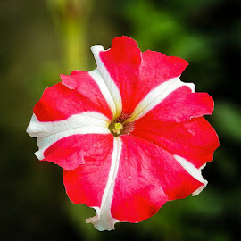 PETUNIA by Ayan Khastgir - Novices Only Flowers & Plants