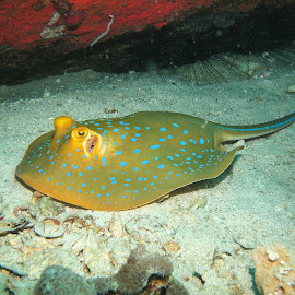 Blue Spotted Ribbon Tail Ray by Phil Bear - Animals Sea Creatures ( ray, coral, reef, thailand, stingray )