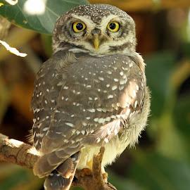 Spotted Owlet by Sankaran Balaji - Animals Birds ( animals, nature, spotted owlet, birds, portrait,  )