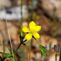 Node flowering Flax (Αγριολινάρι)