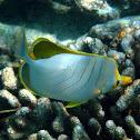 Yellow headed butterflyfish