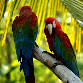Two-sided by Adhiraj Ghosh - Novices Only Wildlife ( perched, red, blue, green background, feathers, birds, branches )