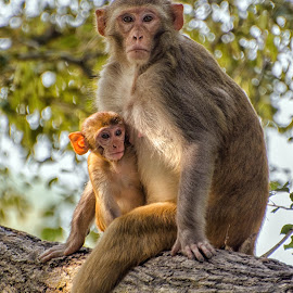 A Mother's Heart is always with her Children by KP Singh - Animals Other Mammals ( neelon, punjab, mother, ludhiana, monkey )