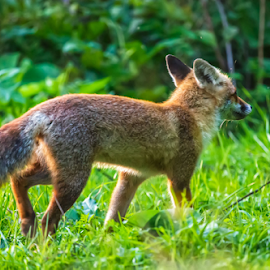 Fox on the run by Stanislav Horacek - Animals Other Mammals