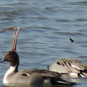 Northern Pintail Duck (male)