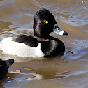 (Male) Ring-necked Duck