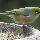 Silvereye or Wax-eye